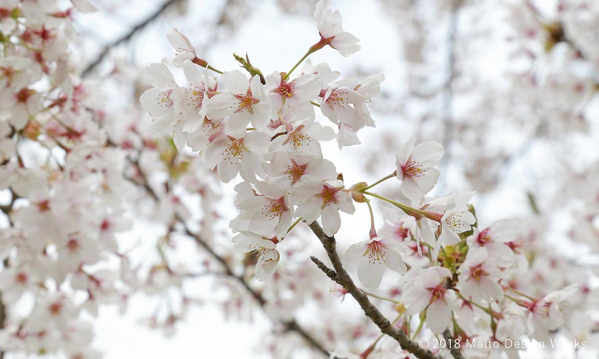 桜染め 染井吉野 花