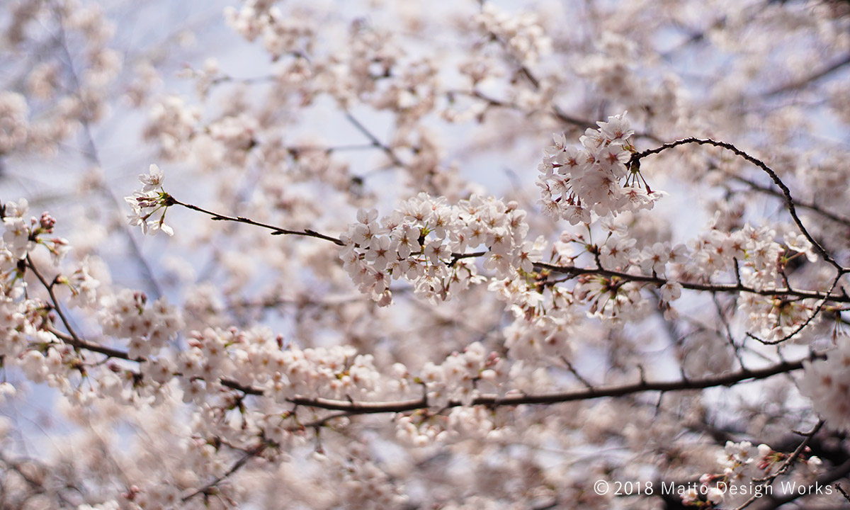 桜染め 染井吉野