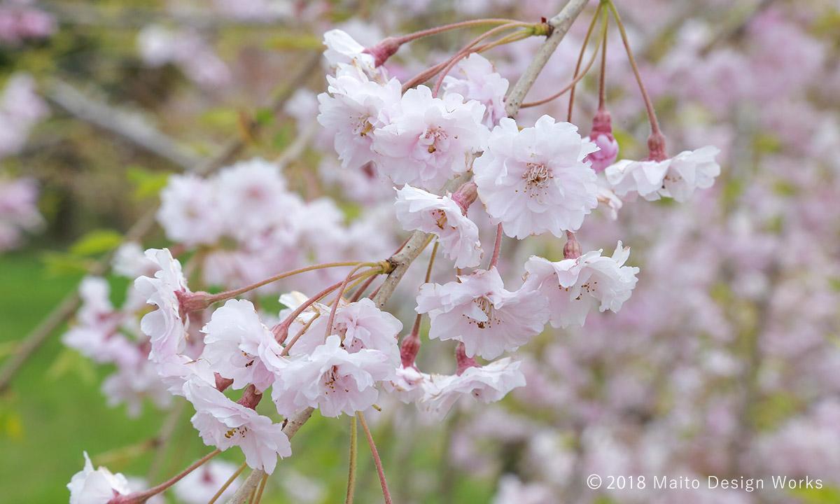 桜染め 八重紅枝垂